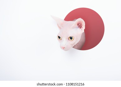 Sphynx Cat looking out from a round window on white paper background, Minimal art style, Copy space