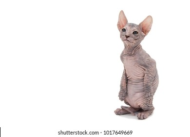 Sphynx cat on a white background. Bald cat. A kitten without wool. On a white background.