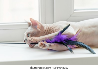 Sphynx cat playing with a feather toy, laying on a window sill. Fun and leisure for pets.