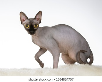 Sphynx cat portrait. Hairless cat isolated on white.