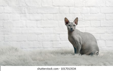 Sphynx cat sit on a grey fur blanket and look at the camera.