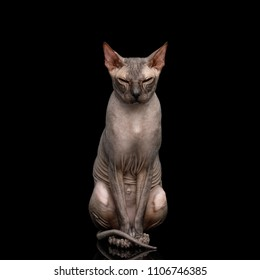 Sphynx Cat Sitting and Gazing Squints Isolated on Black Background, front view