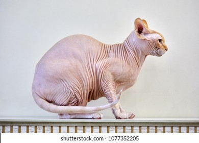 Sphynx cat sitting on mantelpiece in profile.
