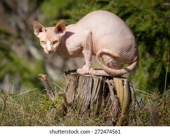 Sphynx cat sitting on a stump in the woods.