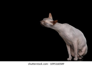 Sphynx Cat Sitting and Raising muzzle Isolated on Black Background, side view