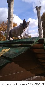The sphynx cat walking on the roof