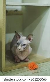 Sphynx cat(Canadian hairless) kitten