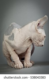Sphynx Hairless Cat in front of grey background