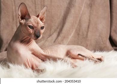 Sphynx hairless cat on fabric background