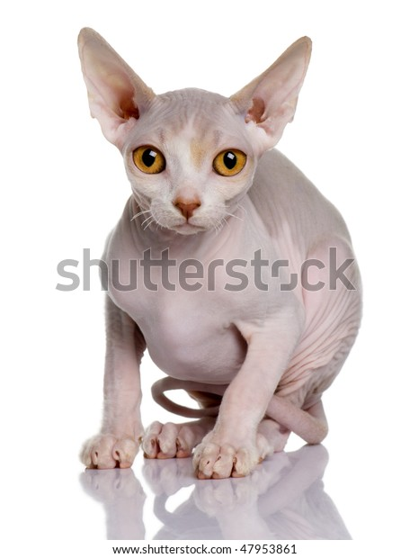 Sphynx Kitten 5 Months Old Front Stock Photo (Edit Now) 47953861