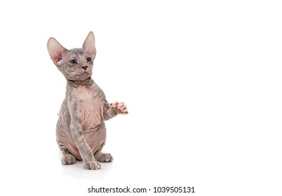 Sphynx Kitten. isolated on white background. Place to insert text.