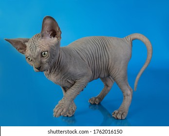 sphynx kitten on a blue background with reflection, plays, sits, looks at the camera