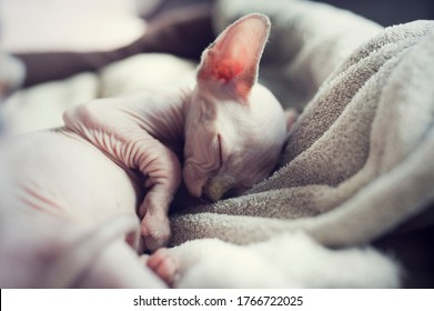 Sphynx kitten sleep in gray blanket. Naked hairless antiallergic domestic cat breed with big ears. Small tired sweet kitty.