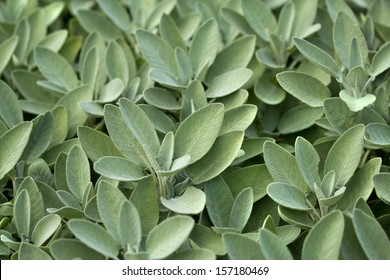 Spice plant: sage, (salvia officinalis), in vegetable garden