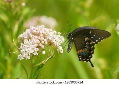 Spicebush Swallowtail butterfly (Papilio troilus) on Swamp Milkweed (Asclepias incarnata), Marion, Illinois, USA.
