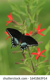 spicebush swallowtail butterfly papilio troilus on royal catchfly
