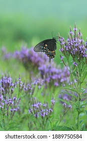 spicebush swallowtail butterfly papilio troilus on blue vervain