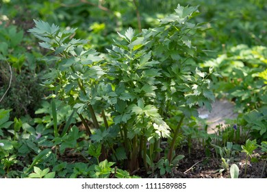 Spices and Herbs, Lovage plant (Levisticum officinale) growing in the garden.