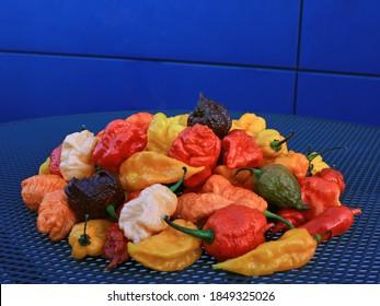spicy chili peppers on iron blue table. blue background. naga morich, habanero chocolate, naga viper, carolina reaper, fatalii yellow