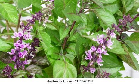 Spicy grass basil fragrant (ordinary, gargoyle, camphor) blossoms close-up