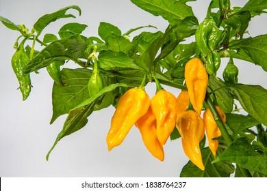 Spicy yellow chillies-Habanero- on white background-