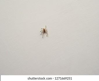 spider arachnide animal of phylum Ecdysozoa Arthropoda (arthropod) on a wall