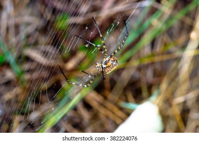 A spider,  Argiope bruennichi,  of considerable size and threatening aspect