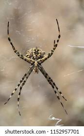 Spider Argiope bruennichi on the Spider web in the Crimean steppe
