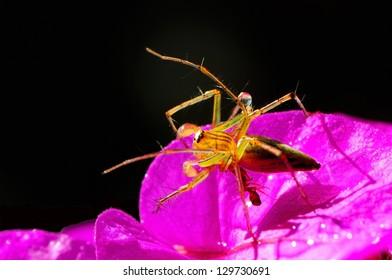 Spider is bitten by ant on pink flower
