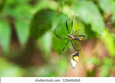 The spider catches the butterfly. Spider spin a web for catching its victims. Predator of small insects on food chain.