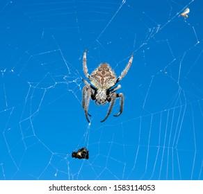 Spider climb his web ton reach the prey