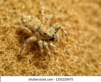 spider close Up on  brown background. Spider jumping on mat. Golden colour spider species. Brown spider micro.