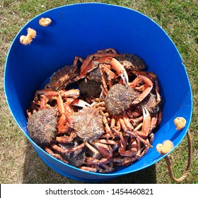 spider crab and other crabs in a bucket fresh from the sea, about to be cooked.