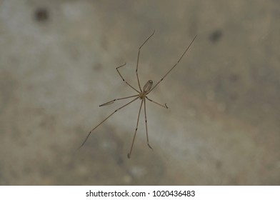 Spider daddy long legs on its web in cellar.
