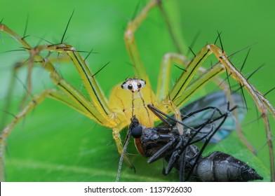 Spider eating bait.