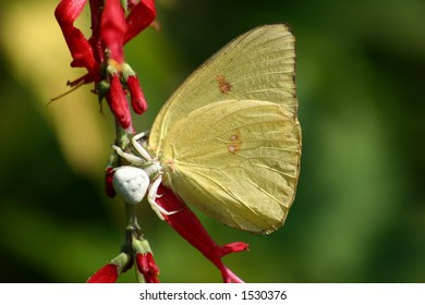 Spider Eating Butterfly