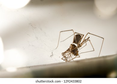 Spider Eating Spider in Cellar. Cannibalism Observed in Animal Kingdom. Species is Daddy Long-Legs or Pholcids. Selective Focus