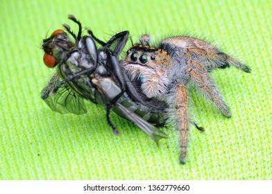 spider is eating flies