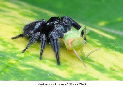 spider is eating grasshopper