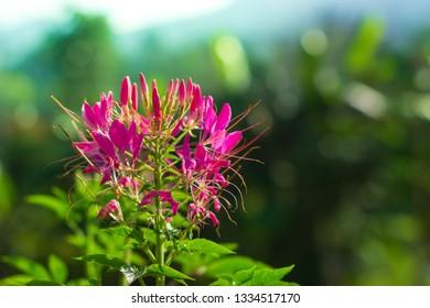 Spider flower on green nature bokeh background,(cleome spinosa linn.)