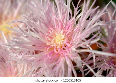 Spider Guldaudi Flower Chrysanthemum