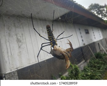 The spider is hanging on the web, eating the crabs,  a yellow stomach