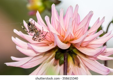 Spider and his pink dahlia