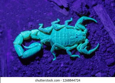 Spider Hunting Scorpion