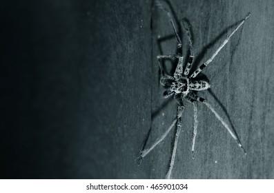 spider huntsman on horror dark background copyspace