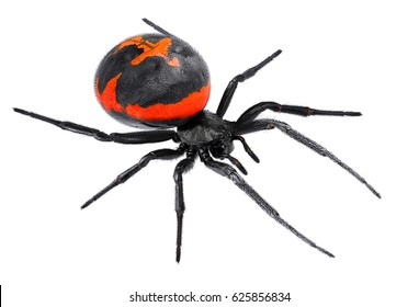 Spider Latrodectus tredecimguttatus, sometimes known as the Mediterranean black widow, the European black widow, or the steppe spider (genus Latrodectus), isolated on a white background