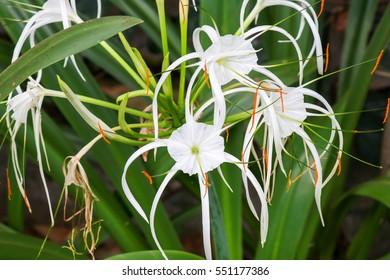 Spider lily, AMARYLLIDACEAE, Hymenocallis littoralis Salisb