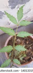 Spider mite damage on neem plant 'Azadiracta indica'