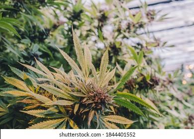 Araignées, Mitiges, Plantes De Cannabis