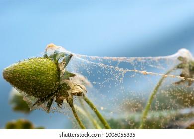 Spider mite on strawberry crop